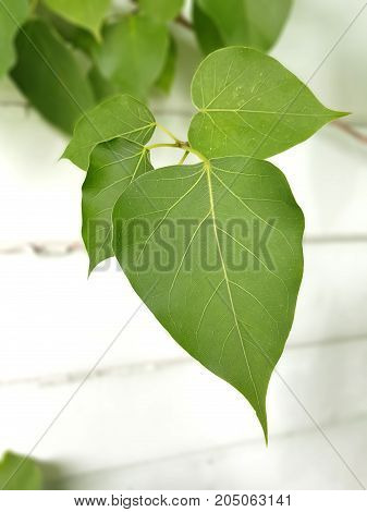 Live green pho leave beside the wall (selective focus with clipping path)