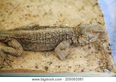 Close up central Bearded Dragon or Pogona vitticeps in tank