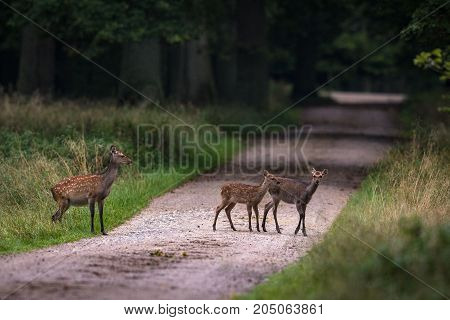 Female Sika deer with two fawns crossing the road in a forest in Jaegersborg, near Copenhagen, in Denmark
