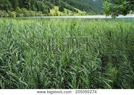 Reed in a mountain lake in the Tyrolean Alps