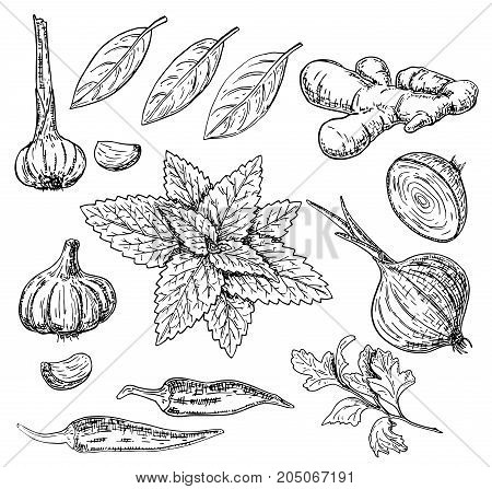 Vector ink hand drawn style set of culinary herbs and spices. Garlic, chili pepper, onion, ginger root, parsley, mint and bay leaves sketch illustration.