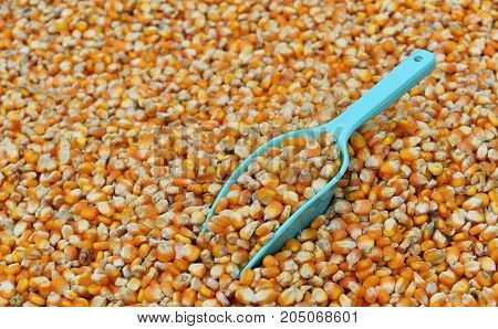 green scoop on many dried corn seed for background
