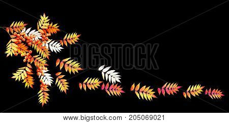 Bright colorful autumn leaves isolated on black background. rowan