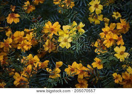 Tagetes marigold orange blossom on dark bacground