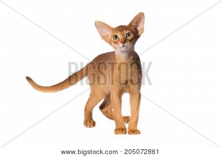 abyssinian cat isolated on a white background, studio shot