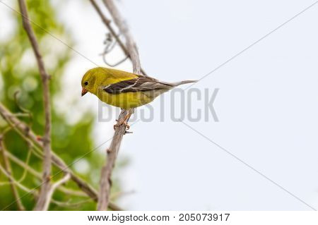 Toronto, Canada: Yellow American Goldfinch Bird Perch In Bush