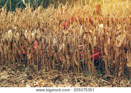 Corn maize harvest combine harvester working on ripe maize crop field selective focus