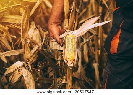 Farmer with harvest ready ripe corn maize cob in field adult male agronomist working on cultivated agricultural plantation