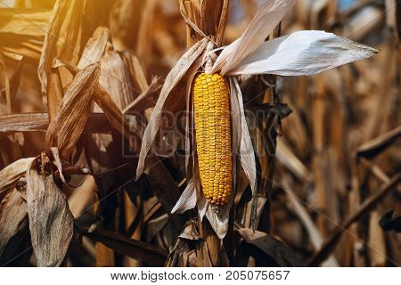 Harvest ready ripe corn maize cob in field selective focus