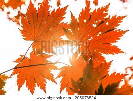 bright red wedge leaves in the sunshine, Golden Autumn