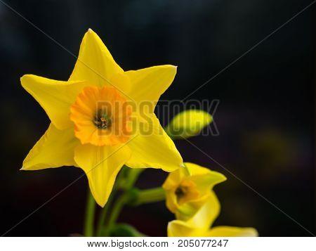Closeup of beautiful blooming yellow star flower.