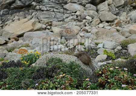 Small gray squirrel sitting on rocks on the coast