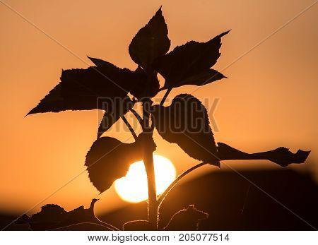sunflower on the golden sunset as background .