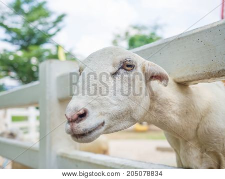 Closeup of white dairy breed goat in farm while looking to camera. Farm concept with white goat.