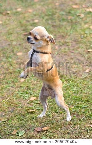 Chihuahua small dog dances standing on its hind legs and crossing its front paws Close-up. Space under the text. 2018 year of the dog in the eastern calendar Concept: parodist dogs, dog friend of man, true friends, rescuers.