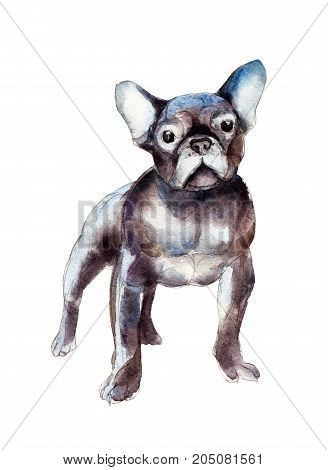 Decorative French bulldog isolated on white background watercolor illustration.