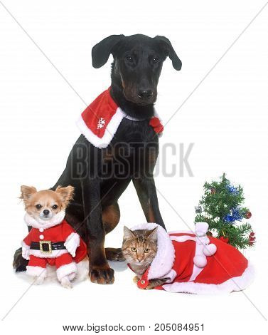 young beauceron cat and christmas in front of white background