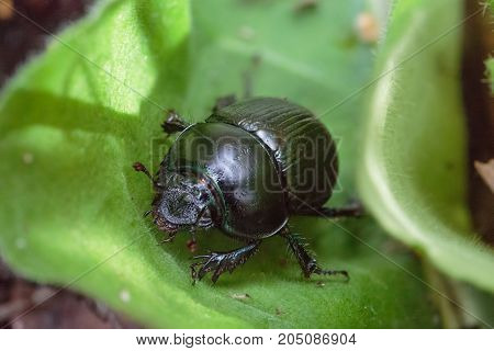Leaf beetle sits on a green leaf