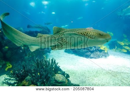 Underwater blue background. Leopard shark or Zebra shark common in warmer coastal waters, around tropical coral reefs, Indian and South Pacific oceans. Lisbon Oceanarium, Portugal.