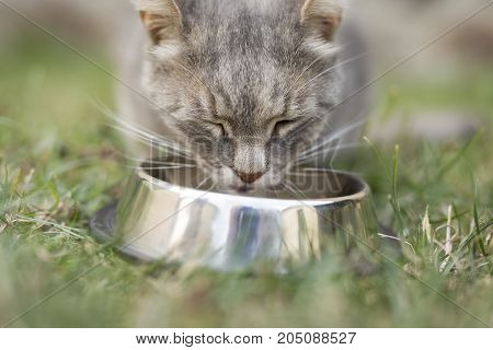 Beautiful tabby cat sitting next to a food bowl placed on the lawn in the backyard eating.