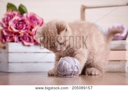 Lop-eared kitten plays. Scotland cat, kitten. Little playful kitten with ball of threads. bouquet of flowers. In the box on background