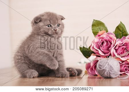 Cat. A kitten is playing. Game with flowers. Scottish Fold Kitten. Wooden box with flowers. bouquet of flowers.