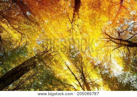 Colorful tree canopy with beautiful warm sunrays in autumn worms eye view