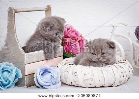 Malicious gray Scottish kittens after an active game. Sleeping cats. purebred cats