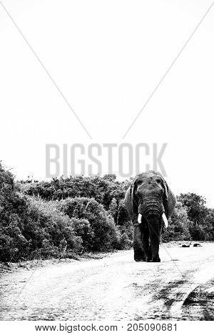 Elephant Walking Down The Road