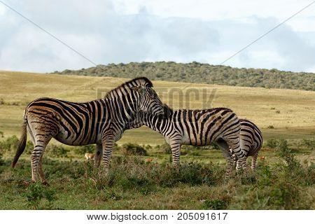 Zebras Rubbing Their Necks