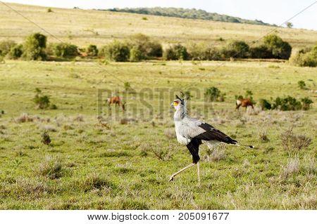 Secretary Bird Walking With His Head Up