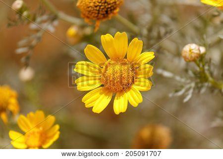 Single Yellow Chrysanthemum Coronarium