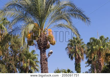 Branches of date palms under blue sky. Palm trees, figs on the coast of Turkey