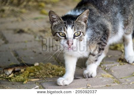 A fighting cat with a nose torn in battle