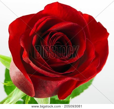 red rose isolated on white background royalty free photostock photos