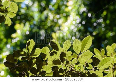 green leaves and blur with sunlight nature background