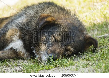 Very old shaggy wandering dog peacefully sleeping on the grass
