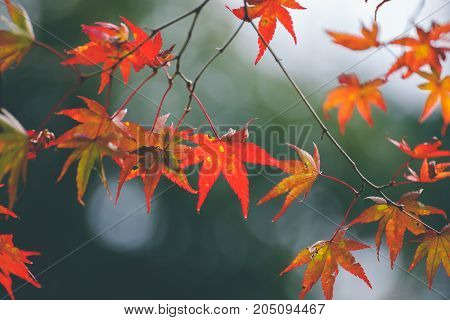 Autumn color change is season colorful with red and yellow leaves alternates beautiful nature bokeh background in Eikando temple Kyoto Japan.
