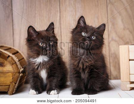 Two Kurilian Bobtail kittens. Funny and cute couple