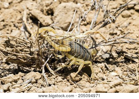 Omdurman scorpion tests the strength of dry grass (Leiurus quinquestriatus)