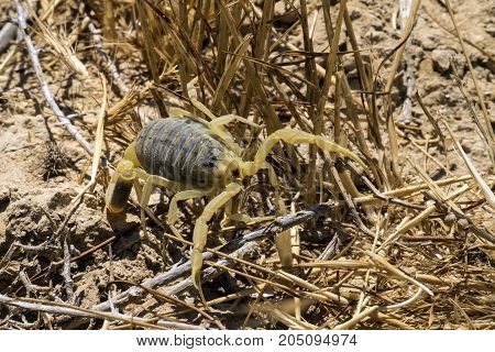 Omdurman scorpion makes its way through dry grass (Leiurus quinquestriatus)