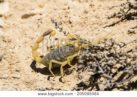 Scorpion deathstalker from the Negev desert seeking refuge (Leiurus quinquestriatus)