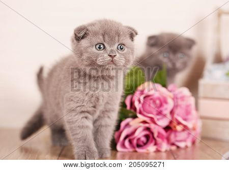 Interesting Scottish kittens. Research of new territories. Thoroughbred cats. Couple fold cats
