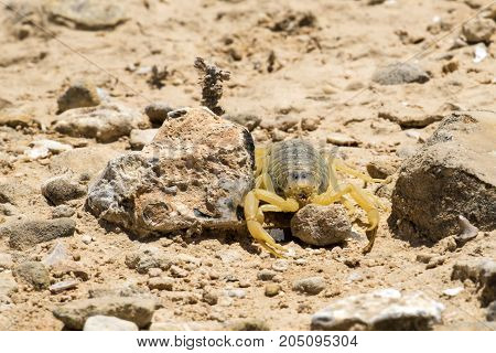 Scorpion deathstalker from the Negev protects the stone (Leiurus quinquestriatus)