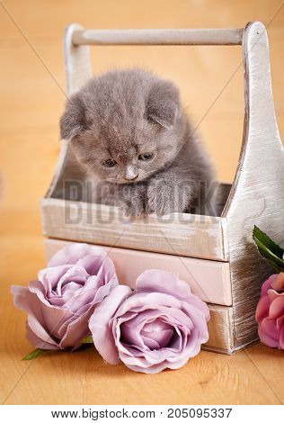 Scottish kitten. Scottish Fold Cat. Siting in box cat. Playful gray color Scottish fold cat portrait.
