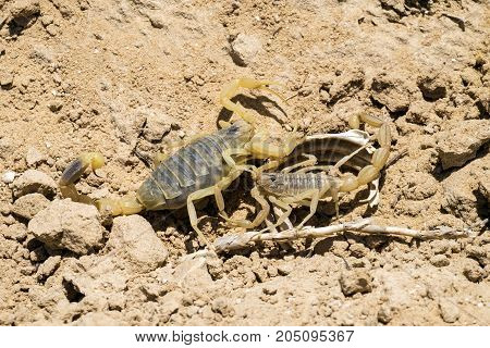 Two Omdurman scorpions find out the relationship (Leiurus quinquestriatus)