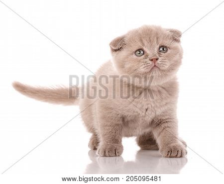 Portrait of cute scottish fold kitten playing against a white background. Cat food promotion