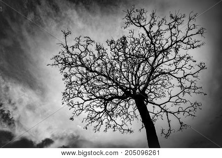 Silhouette dead tree on dark sky background for scary or death