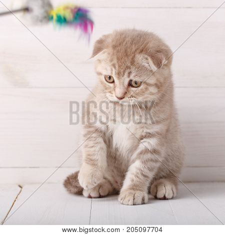 Playful cream color Scottish fold cat portrait. Sits and looks down