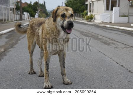 Old shaggy dog standing in the middle of a village street picture from The North of Greece.